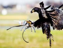 荷兰警方进行老鹰抓无人机训练