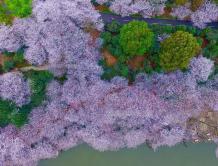 航拍长沙800亩樱花园 湖光樱色如诗如画(组图)
