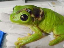 女子割草机意外辗伤小树蛙 用飞机空运1000公里医治